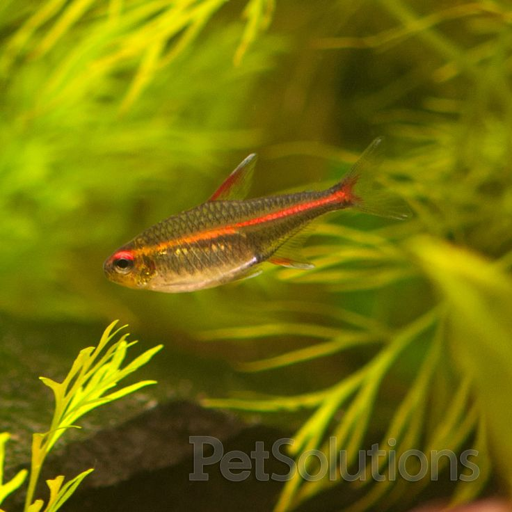 50 best freshwater aquarium fish non agressive images on for Peaceful freshwater fish