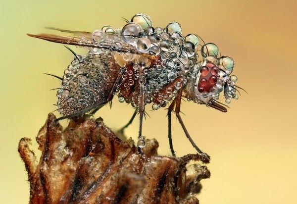 Fly all dewed up: Flying Covers, Dew Covers, Pakan Dewsoak, Dew Drop, Ondrej Feed, Dewsoak Insects, Dewdrop, Mornings Dew, Photo