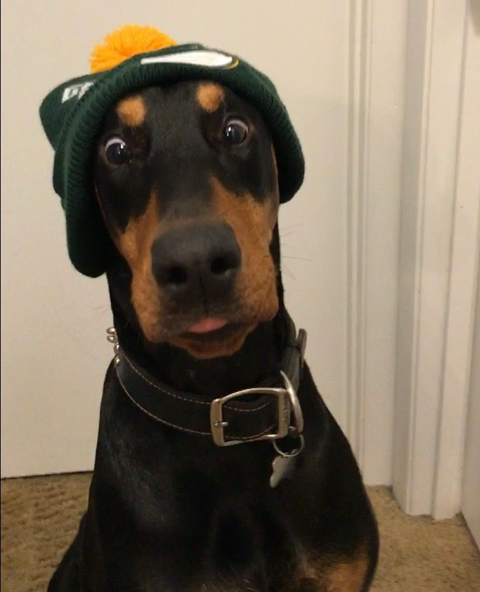 Are You Gonna Give Me A Bite Of That Pizza Doberman Pinscher