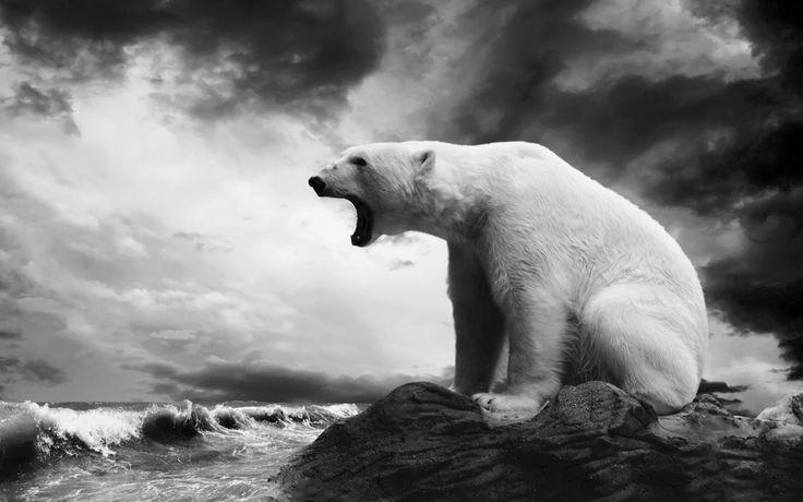 Polar bear black amp white photography Photography B