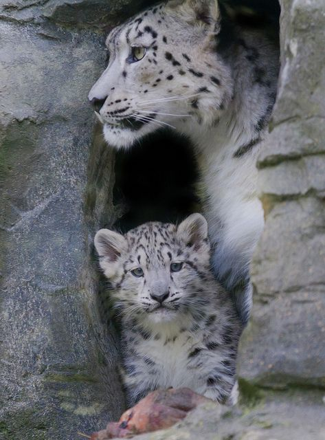 Snow leopard and cub | Protective Mother by Jason Brown Photography