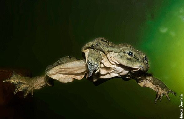 """car-lol-yn: """" This is the Telmatobius culeus, commonly known as the Titicaca water frog, is a very large and critically endangered species of frog in the Leptodactylidae family. (Wikipedia) """""""