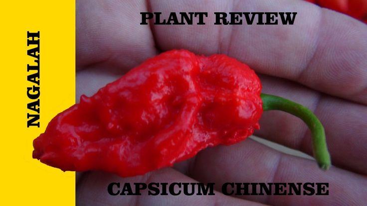⟹  Nagalah Red Pepper ☠☠☠  ❕❕DANGER❕❕ 3 SKULLS RATING Capsicum chinense