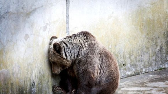Three Bears General Store in Pigeon Forge, Tennessee has an open bear pit with five live bears being exploited and starved for tourist' entertainment. Please send my sample letter to Governor Bill Haslam requesting this place be shut down immediately.