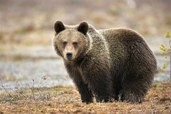 La faune française menacée:  Un ours brun des Pyrénées © Getty