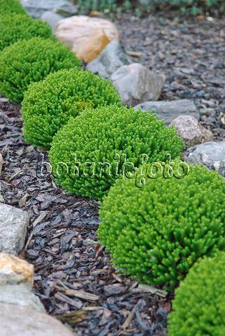 Die besten 25 hebe pflanze ideen auf pinterest boxwood for Evergreen pflanzen