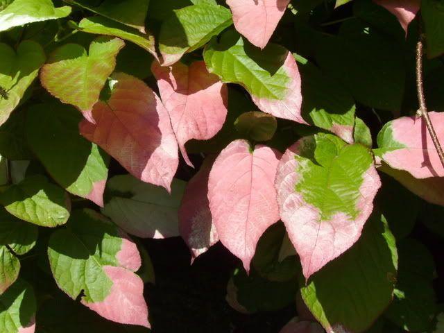 rødkattebusk