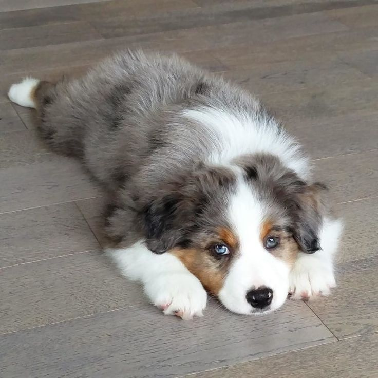 17 Reasons Australian Shepherds Are The Worst Possible Breed Of