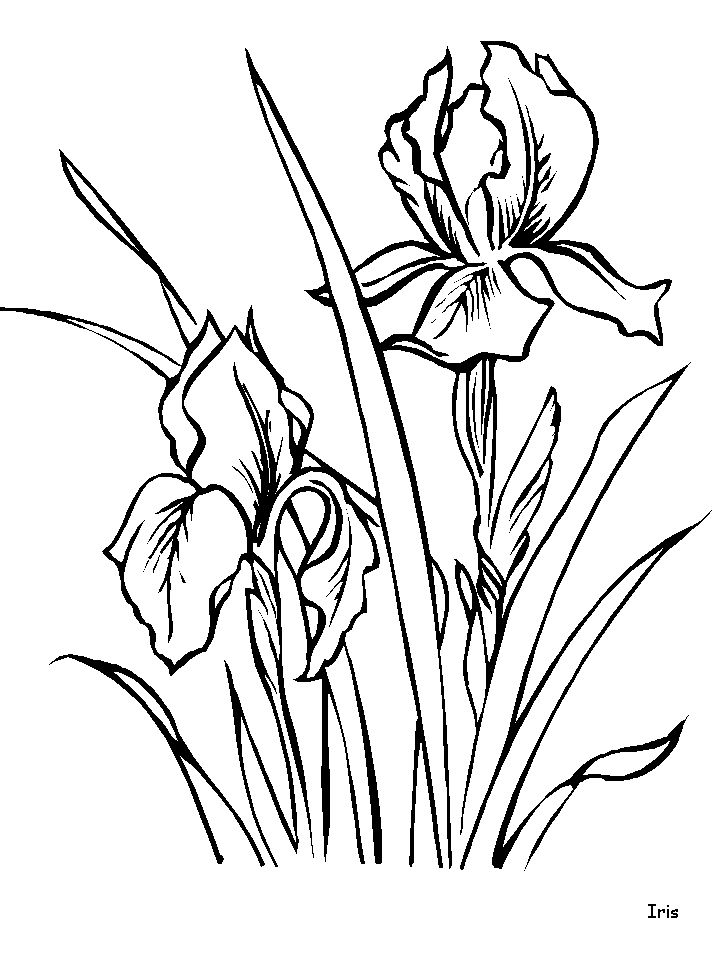 Iris coloring pages and printable