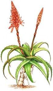 è importante scegliere la giusta pianta di Aloe Arborescens