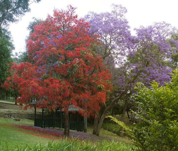 Red & Lavender (purple) Jacaranda Trees in South Florida ...