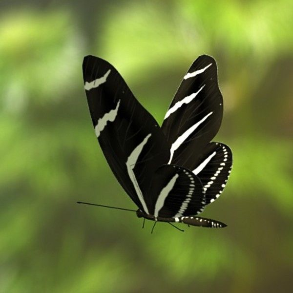 "From turbosquid.com: ""Zebra in flight."" Species details from Insect Lore: the species Heliconius charithonia is known as the Zebra Longwing, or Zebra Heliconian. As caterpillars they are white with black spots, along with lots of black spikes on their body. Adults have a wingspan ranging from 72 to 100 mm! They live in Central America, South America, the West Indies, Mexico, and south portions of Texas and Florida."