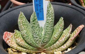 Gaster desplomó (Gasteria carinata) Gaster desplomó - arbusto silnovetvisty unos 10 cm Las hojas son muy diversos en forma y color -. Oblanceolada u oblongo-espatuladas, a veces aplanada, de color verde o verde-gris