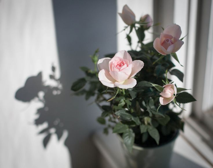 https://flic.kr/p/21UB2V7 | Rose | It's a beautiful sunny Sunday, waiting in anticipation for tomorrow's snow that has been promised by weather forecast...