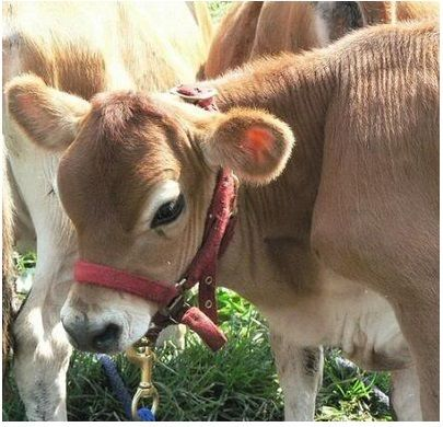Miniature cow breeds to consider