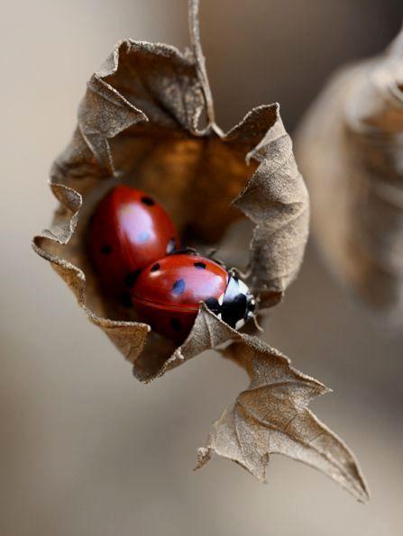 Parece até uma ilustração de tão inusitada. O coração de folha seca repleto de cor e vida graças às joaninhas