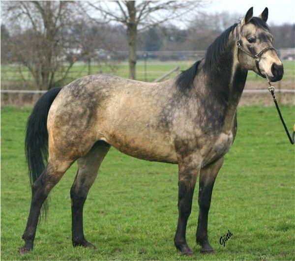 quarter horse | commander bueno par quarter horse reg nr 3614538 buckskin
