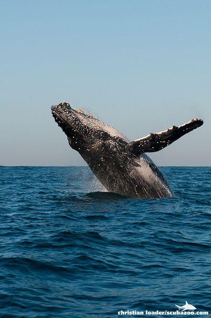 Humpback Whale breaching - Aliwal Shoal, South Africa