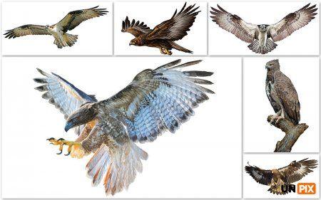 Векторные иллюстрации хищных птиц – Cкопы, орлы и ястребы AI, EPS