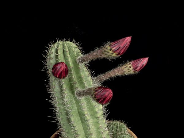 """Cactus Flower animated bloOm! pink2, by photographer Greg Krehel on National Geo 2015-07 """"Mother Nature's Fireworks"""""""