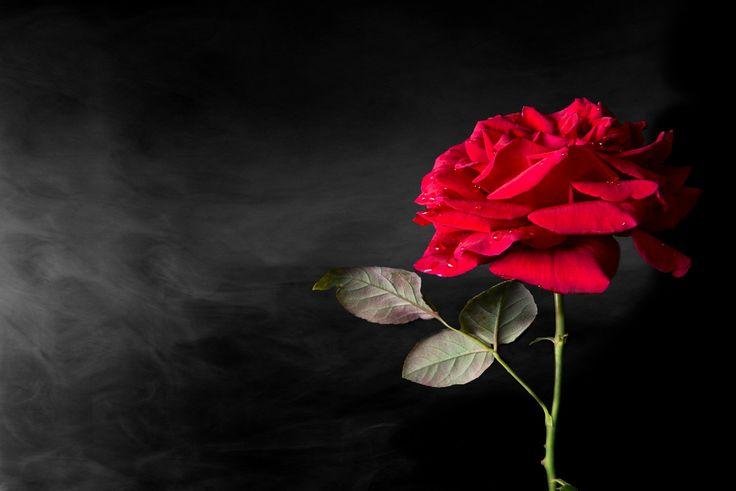 Smokey Rose - A deep red rose on a dark smokey background.