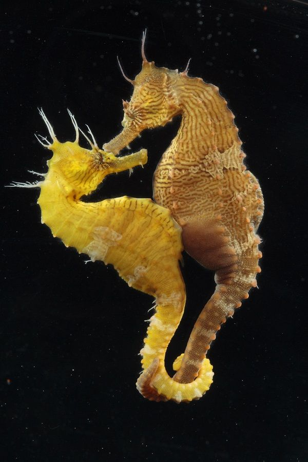 These intriguing creators are true lovebirds – most of them are monogamous and some species mate for life. Seahorse couples are pretty amazing and fun to watch as greet each other every morning with a unique dance that sometimes involves changing colo