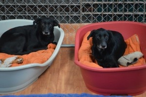 POPPY et LILY x labrador femelle 5 ans