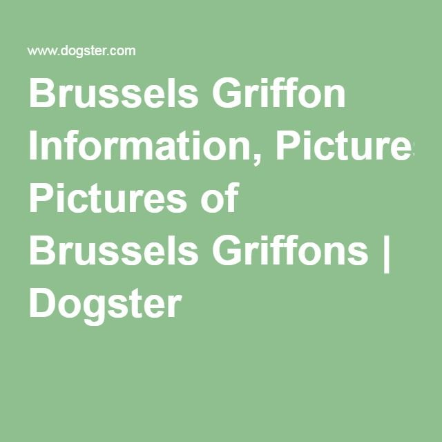 Brussels Griffon Information, Pictures of Brussels Griffons   Dogster