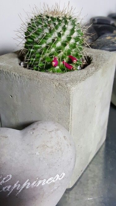 Cactus bloom in cement pot
