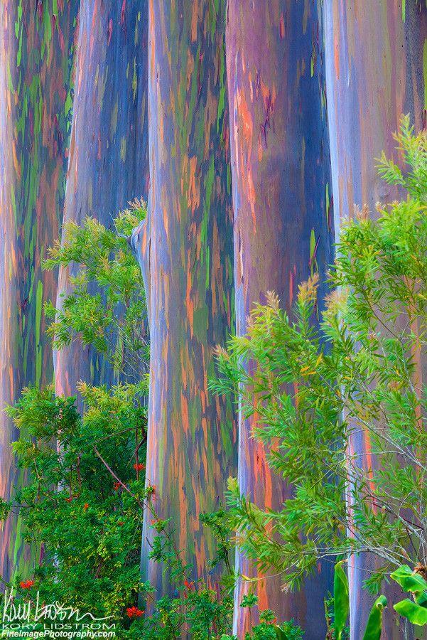 Rainbow Row | ©Kory Lidstrom A colorful row of Rainbow Eucalyptus trees (Eucalyptus deglupta) on the Big Island of Hawaii.