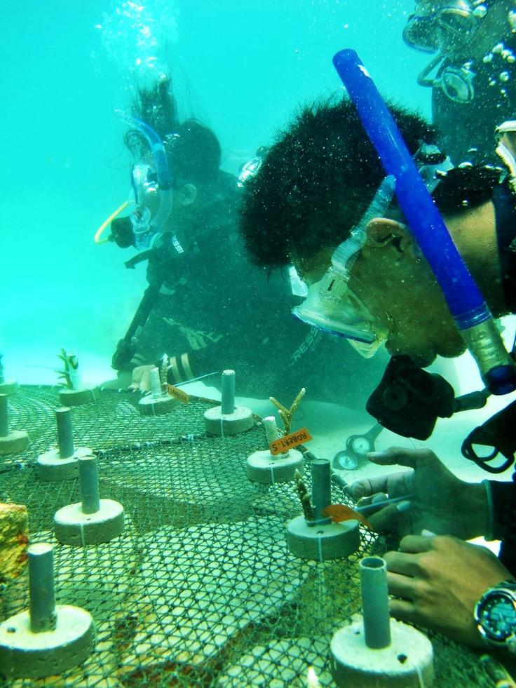 Coral Transplantation, Karimun Jawa, Indonesia