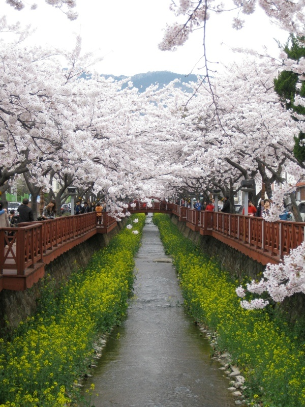 Pusan, South Korea  Flowering trees make any pathway peaceful and beautiful!
