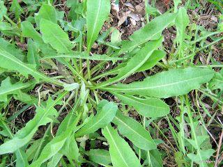 Ραδίκια σπορά φύτεμα καλλιέργεια