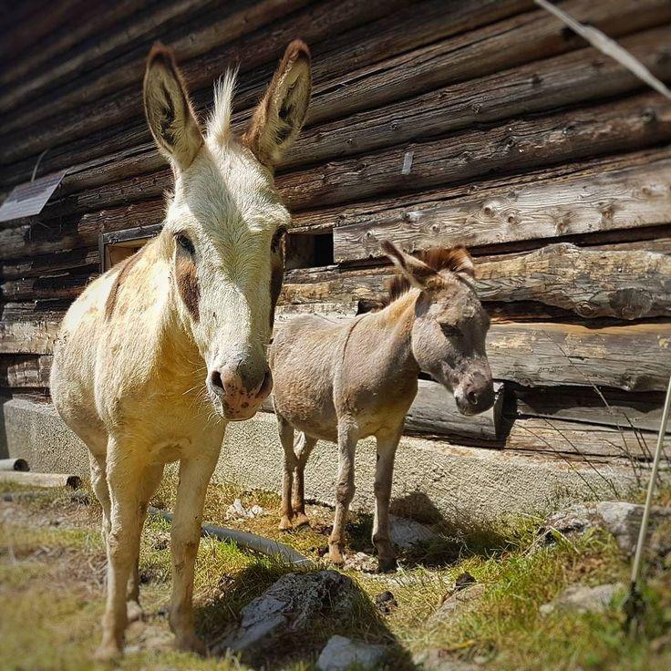 Maultiere sehen ja schon liebenswert aus. . .  #maultier #mules #animals # Tiere #vierbeiner #switzerland #outdoorliving #visitswitzerland  #suisse #switzerland_vacations  #switzerlandphotos #switzerlandvacations  #swissnature #myswitzerland