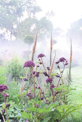 Deštníky a stožáry. Výborný kontrast tvarů a navíc i barev: purpurové deštníky Angelica a věžovitá rezavožlutá květenství Digitalis ferruginea.