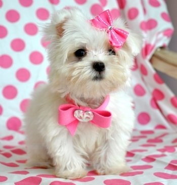 I want a tea cup maltese puppy! animals: Dogs Bows, Cute Baby, Little Puppies, Teas Cups, Pink Bows, Teacups Puppies, Malt Puppies, Baby Puppies, Teacups Maltese