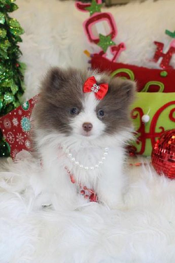 party pomeranian puppies for sale teacup pomeranian puppies for sale in nc zoe fans blog 4975