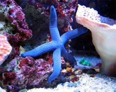 Blue Linckia Sea Star for that salt water tank