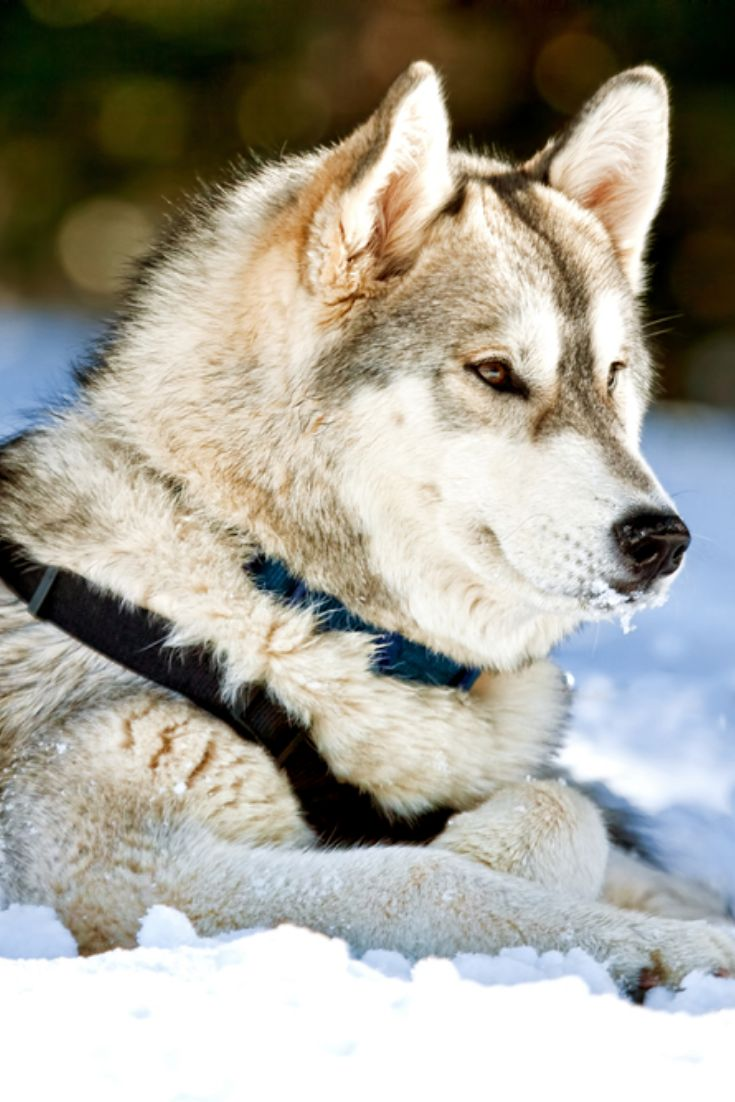 A beautiful siberian husky dog laying down on snow covered