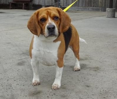 Rocky is an adoptable Beagle searching for a forever family near Lathrop, CA. Use Petfinder to find adoptable pets in your area.