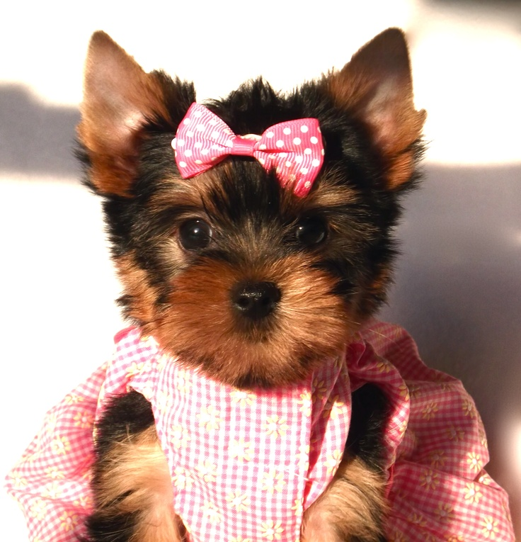 Extreme Baby Doll Faces!! <3Dolls Face, Yorkie Puppies, Yorkie Luv, Baby Dolls, Puppies 3, Furries Friends, Yorkshire Terriers, Extreme Baby, Adorable Animal