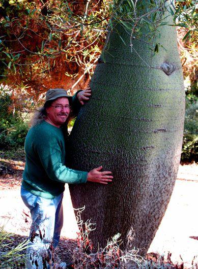 A REAL AUSTRALIAN BOTTLE TREE (Brachychiton rupestris
