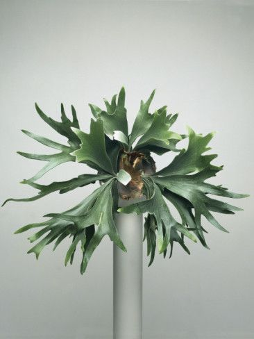 Close-Up of a Staghorn Fern Plant (Platycerium Superbum) Photographic Print at AllPosters.com