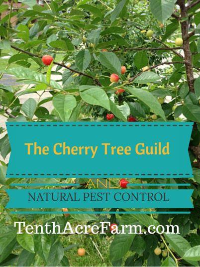 Cherry Tree Guild & Natural Pest Control: chives, comfrey, shasta daisy ~ via Tenth Acre Farm