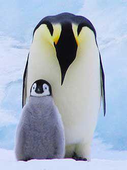 Penguins #penguins #penguin #penguino #emperorpenguin #gentoo #peace #love happiness #coury #kingpenguin