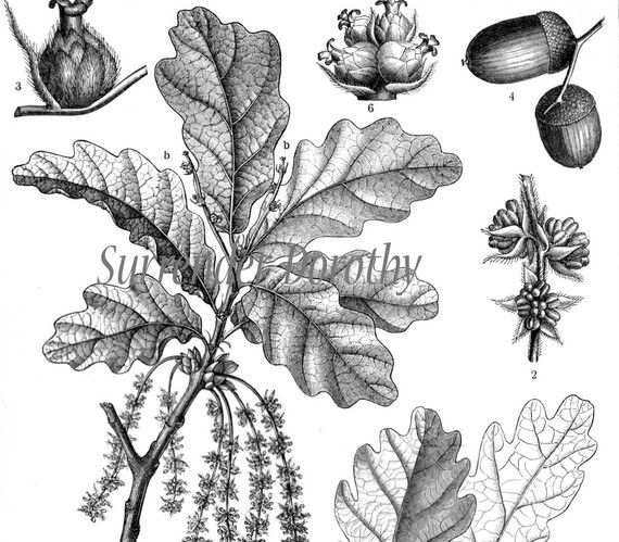 Mighty Oak Tree Antique Victorian Era 1887 Botanical Illustration From Germany