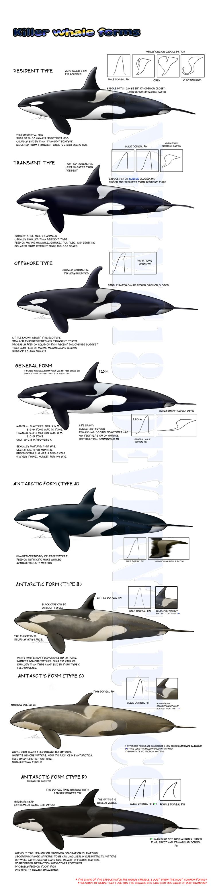-Killer whale forms- UPDATED by AngelMC18.deviantart.com on @DeviantArt