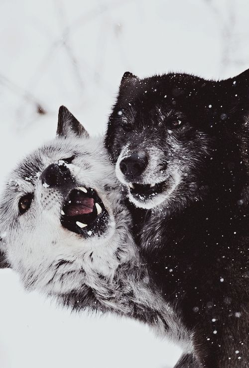 80 best images about wolves on pinterest wolves a wolf and eyes. Black Bedroom Furniture Sets. Home Design Ideas