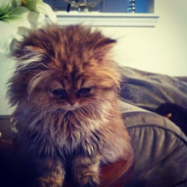 Doll face Persian Cat!! The Persian is perhaps the most widely recognized cat breed, known for its extremely long, fluffy coat, very stocky body type, large eyes, and flat face. Persians are available in a myriad of colors and patterns including the pointed pattern called Himalayan.
