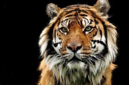 tigre cara